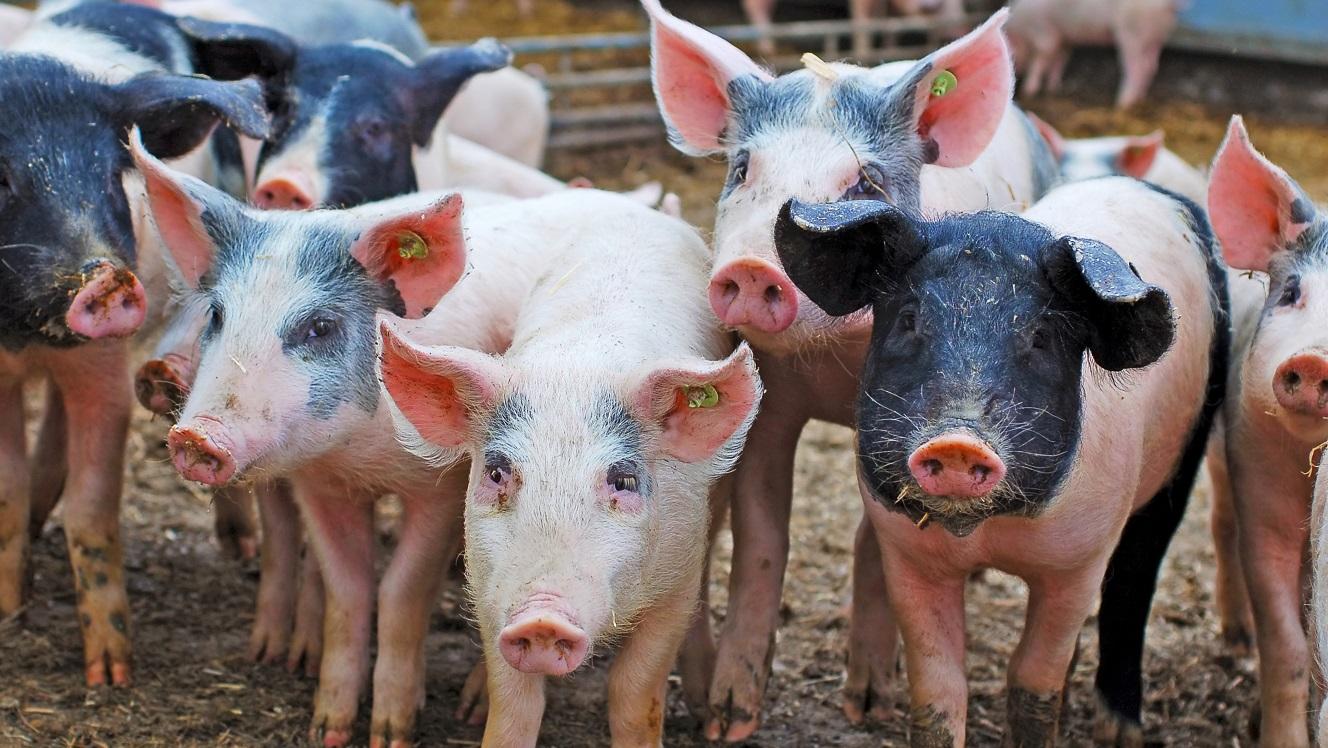 Pork meat bubble finally bursts